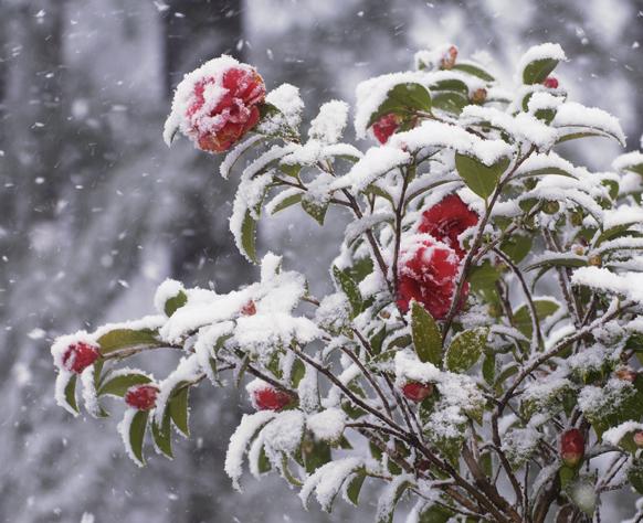 snow camellia